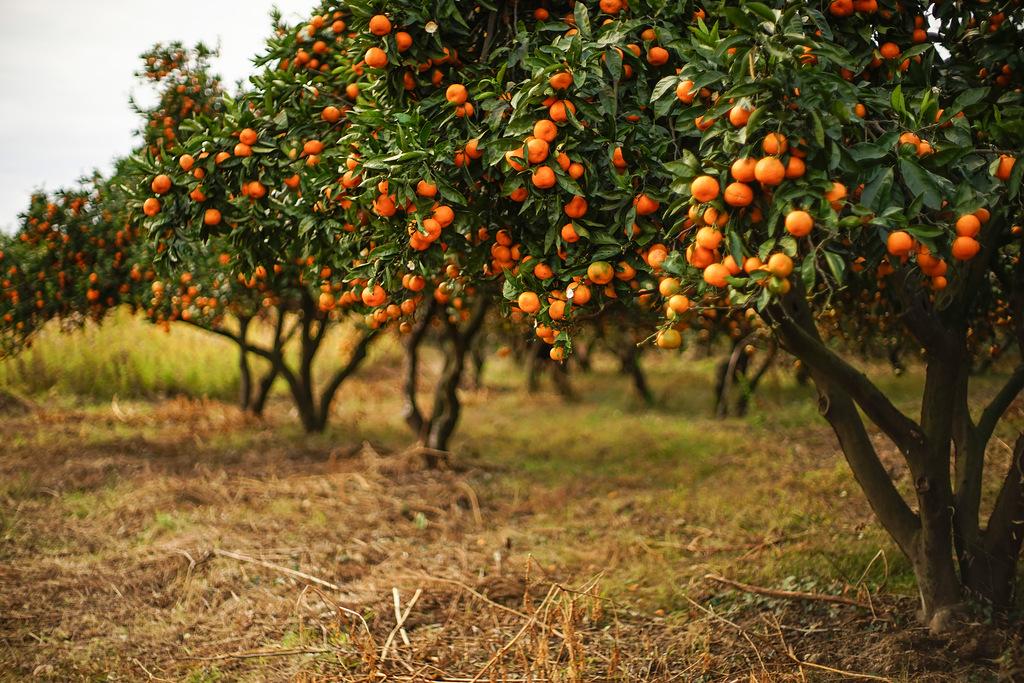 мандариновые сады в абхазии