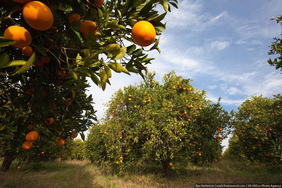 мандарины в Абхазии