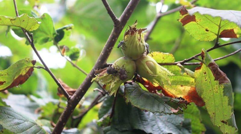Абхазское сельское хозяйство под угрозой