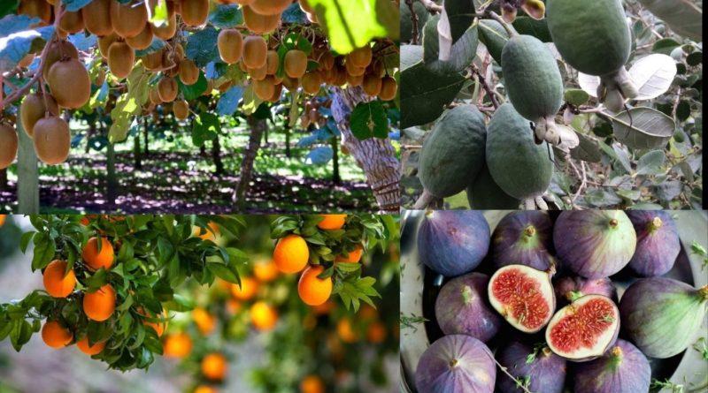 когда созревают фрукты в абхазии